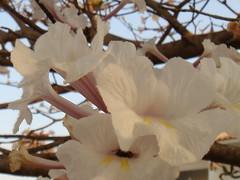 IPÊ (marlenells) Tags: flower ipê white quintaflower macro tree zoomzoom wonderful topv111 topc25