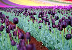 OK, that's it... (the phototherapist) Tags: flower topf50 purple tulips australia melbourne tulip oneyear tulipfestival dandenongs liliaceae silvan iamgoingmad