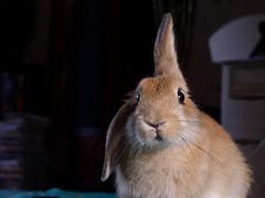 What? (Sjaek) Tags: pip cute fluffy bunny rabbit pet konijn rabbits ear ears