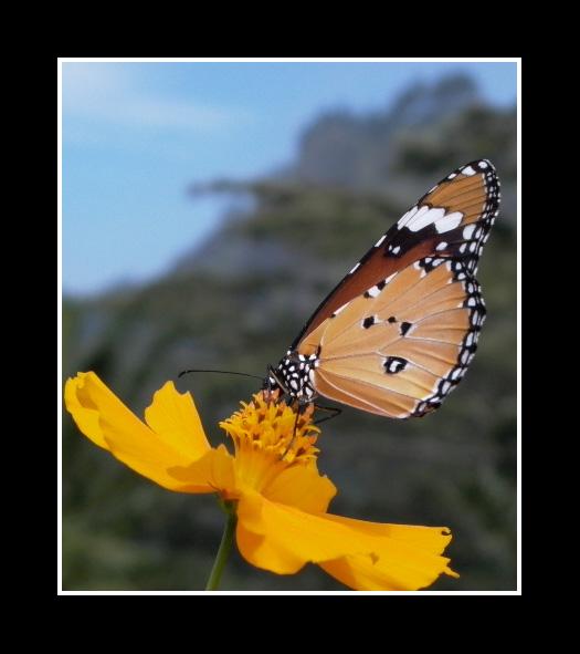 Butterfly in Sri Lanka