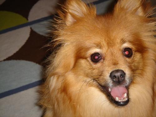 Foxy the Dog