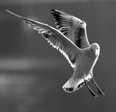 Wings (frielp) Tags: bird wings flight bw claremont surrey england uk national trust 70200mm 14tc d70 nikon top20wings