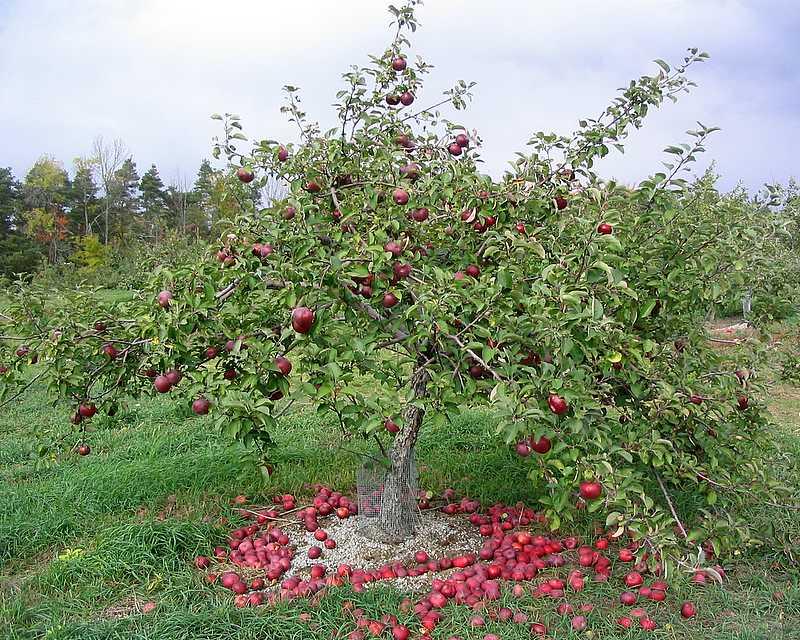 apples under me