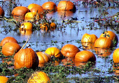 Happy Halloween From Sunny New Jersey! (Sister72) Tags: orange halloween wet field rain reflections flood farm pumpkins october2005 crops monmouthcounty 510favs pumpkinpatch happyhalloween rainedfor8days msh1106 msh110611