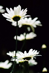 Black and white (Vratsagirl) Tags: flowers daisies ilovenature gardentreasures vratsagirl