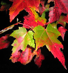 "Leaves broke out with ""fall rash"" - by Ctd 2005"