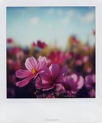 Cosmos (tearoom) Tags: 2005 pink flowers autumn sky polaroid sx70 topf50 500v20f topv1111 today cosmos