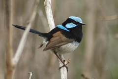 Superb Fairy-wren (Male) (brett.donald) Tags: bird windsor fairywren passeriformes australiannativebird superbfairywren maluruscyaneus malurus maluridae