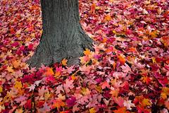 2005-10-22 (Grant Hamilton) Tags: vivid nature leaf interestingness color catchycolors 10d fall tree red