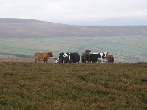 Cows on moor