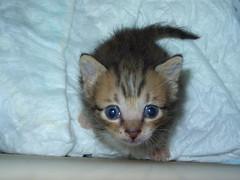 look (jacky elin) Tags: cats brown male 2004 cat mix kitten tabby jacky 貓