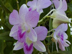 Dendrobium hybrid (Brujo) Tags: dendrobium flower orchid pink orchidaceae