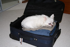 Take me with you (Proggie) Tags: bowie chihuahua suitcase dog
