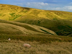 More sheep and hills (Ray Byrne) Tags: uk england rural landscape countryside sheep unitedkingdom britain country north northumberland canon350d gb northern northeast landscapephotography thecheviots cheviothills raybyrne byrneout byrneoutcouk webnorthcouk