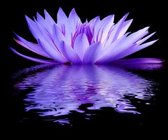 Purple Grace (hodad66) Tags: waterlily water graphics photoshop xt