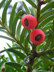 Yew berries - by Roger B.