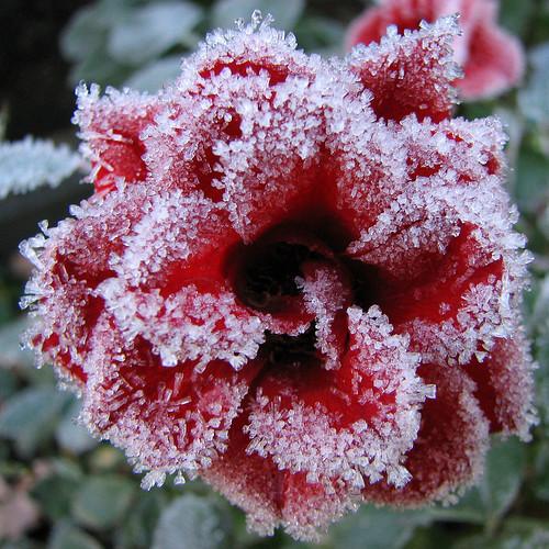 FIORE ROSSO...ON ICE dans immagini buona notte, buon giorno e....♥ 56231447_721ff3d09c