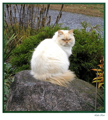 Yes I know I am beautiful (Lida Rose) Tags: autumn plants rock yard cat wow garden persian gutentag fluffy top20catpix amos grumpy himalayan colorpointpersian colourpointpersian lidarose lofoct