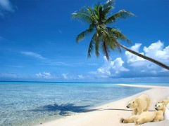 Too Hot! (steve_steady64) Tags: blue wallpaper sky beach photoshop cool bears steve creation polarbears eisbr stevegatto stevegatto stevegattofolgarida extremedesign