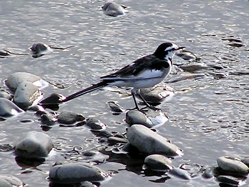 Japanese pied wagtail (??????) #115