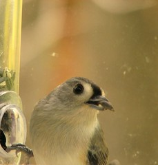 Tufted Titmouse (Jill and J) Tags: birds s2is titmouse animals