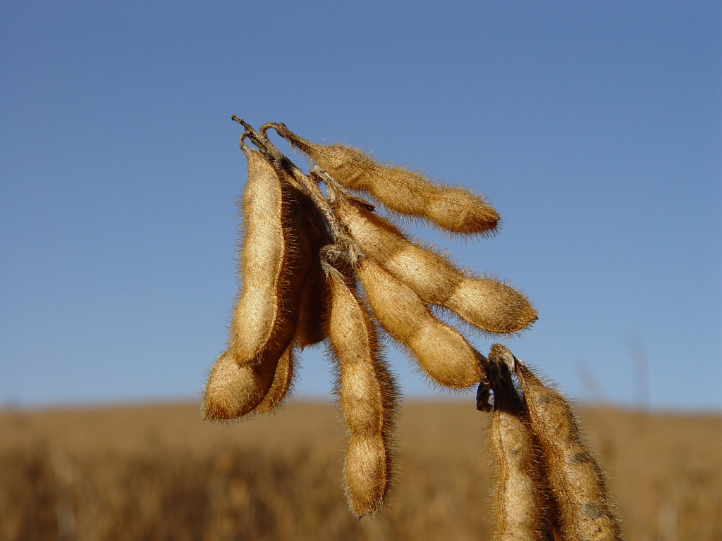 soybeans, gmo, monsanto, crops, agriculture