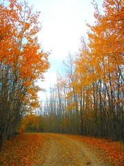 tracking (Popcorn & Wine) Tags: autumn trees 15fav fall leaves 510fav wonder path tracks alberta