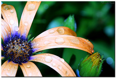 Daisy after the rain. (Brenda-Starr) Tags: flowers plants flower macro nature water rain canon ilovenature flora dof flowerthemes canon350d daisy raindrops ef100mmf28 canonrebel osteospermum allrightsreserved explore46nov32005