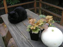 It's beginning to look like October (optically active) Tags: olympusc5060 plants garden heuchera cat autumn