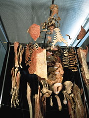 0512.JPG_full_body_plastination_fully_expanded_body_partial_view (prof_wernstrom) Tags: plastination human body