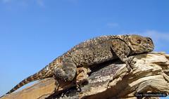 (Agama stellio) חרדון מצוי - tanning on a branch