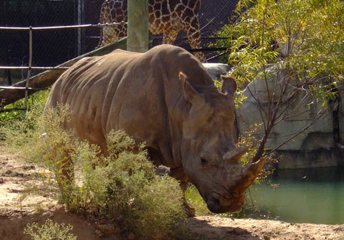 Cameron Park Zoo--Rhino