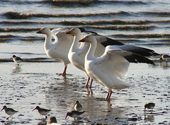 IMG_6583.jpg (wildorcaimages) Tags: snowgeese birds