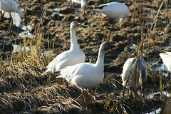 IMG_6637.jpg (wildorcaimages) Tags: snowgeese birds