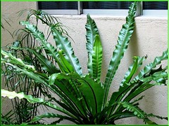 Bird's Nest Fern or Asplenium nidus at our courtyard