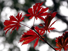 Red Leaves (DigiPub) Tags: autumn red plant tree ilovenature leaf ueno explore     faa