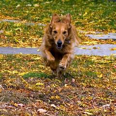 Comin At Ya! (Andrew Morrell Photography) Tags: alexborell alex goldenretriever shakerheights ohio dog run gallop tired speedracerdog mytop20mostviewed top20dogpix top20hallfame