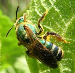 Another halictid (Sean McCann (ibycter.com)) Tags: animals metallic insects bugs hymenoptera halictidae