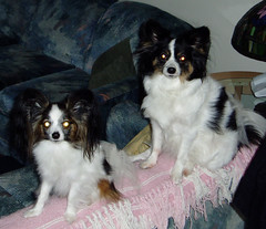 Maxxie and Sophie on the couch (PetLvr) Tags: pets sophie papillon maxxie