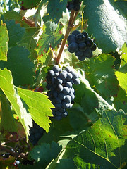 Arrire pays (QuivivraVera) Tags: nature vineyards sainthilaire quivivravera