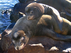 California Sea Lion (Dale Hameister) Tags: california monterey top20animalpix sealion 111505 californiasealion zalophuscalifornianus dalehameister