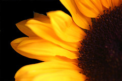 Sunflower (Chrissie64) Tags: flower color colour macro art nature beautiful yellow golden interestingness warm flickr 500v20f dof bright sunny explore sunflower exploreinterestingness cheerful myfavourites explored