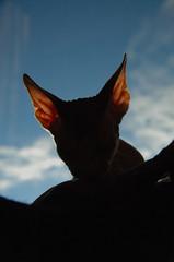 Sarandy's Eskimo (Vina the Great) Tags: cat nude ears ps veins backlit sphynx eskimo otherwise
