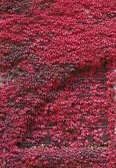 Zugewachsen (happycat) Tags: red rot window germany bayern leaf fenster vine franken blatt wein parthenocissus oberfranken wilderwein plassenburg kulmbach jungfernrebe