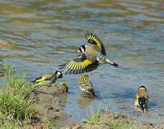 Pintassilgo (Carduelis carduelis) Goldfinch (jcoelho) Tags: avesemportugal birdsinportugal pintassilgo cardueliscarduelis goldfinch europeangoldfinch inflight
