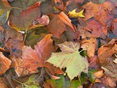 Fallen (3) (JR_Paris) Tags: leaves leaf nature fall autumn deadleaves fallcolors fallenleaves