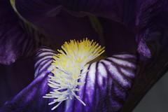 Iris (bbum) Tags: iris purple 100mm flower macro closeup tag1 tag2 tag3 taggedout flowers blossom