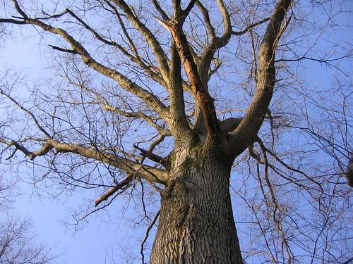 redoak tree oak nature forest woods