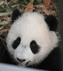 Butterstick! (Peter Martin Photo) Tags: washingtondc zoo animals animal panda butterstick taishan thestick dcist
