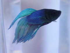 "Japanese Fighting Fish 4 (Saveena (AKA LHDugger)) Tags: blue 15fav favorite fish male animal fauna japanese all no lisa beta any h rights form written fighting betta without usage reserved allowed consent dugger auarium spelndens ""© saveena"""
